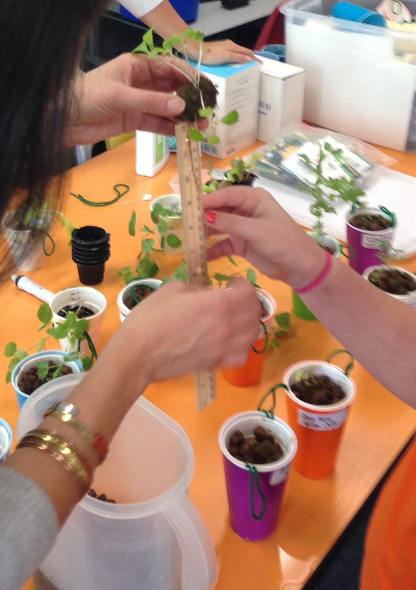 Cups spread across classroom table. Plant roots being measured with a ruler.